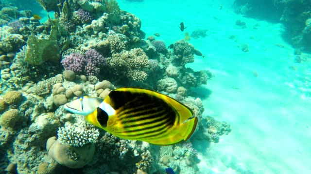 raccoon butterflyfish. red sea. egypt. - butterflyfish stock videos & royalty-free footage