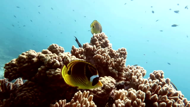 raccoon butterflyfish, sipadan, malaysia - butterflyfish stock videos & royalty-free footage