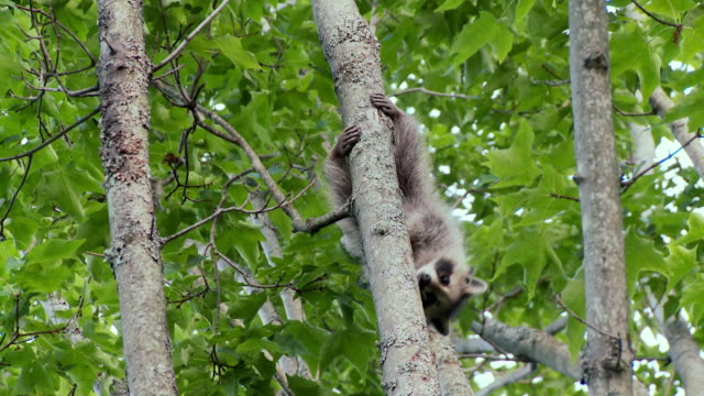 MS TS Raccoon climbing down tree / Madoc, Ontario, Canada
