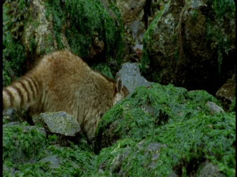 vidéos et rushes de a raccoon climbs over mossy rocks on shoreline. - se nourrir des restes