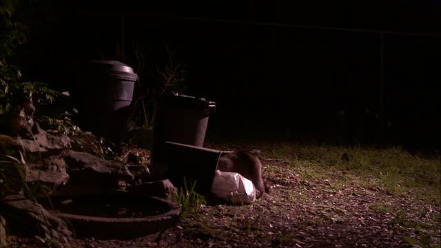 A raccoon crawls into a trash can.