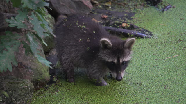 raccoon cub - young animal stock videos & royalty-free footage