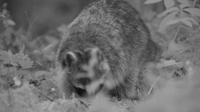 stockvideo's en b-roll-footage met a raccoon digs as it forages in a meadow. - foerageren