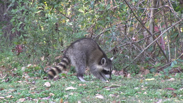 stockvideo's en b-roll-footage met a raccoon digs at the edge of a forest clearing. - foerageren