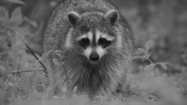 stockvideo's en b-roll-footage met a raccoon digs for food in a meadow. - foerageren
