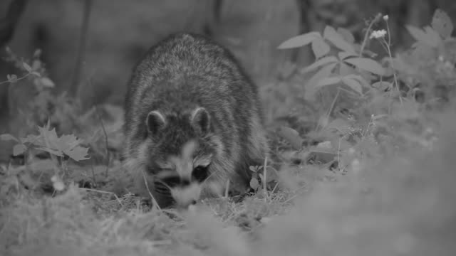 stockvideo's en b-roll-footage met a raccoon digs on the forest floor. - foerageren