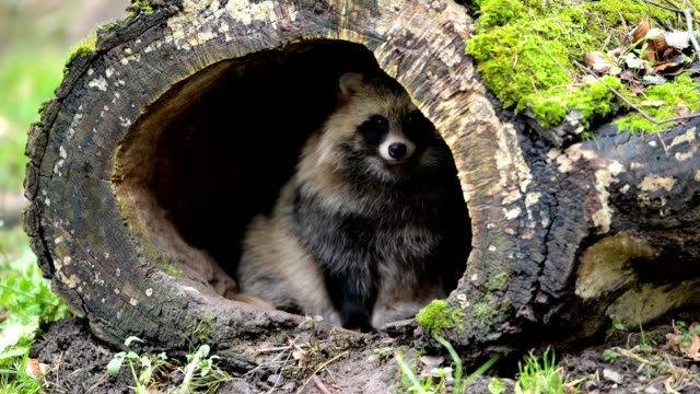 raccoon dog, nyctereutes procyonoides, hollow tree trunk, germany - 20 seconds or greater stock videos & royalty-free footage