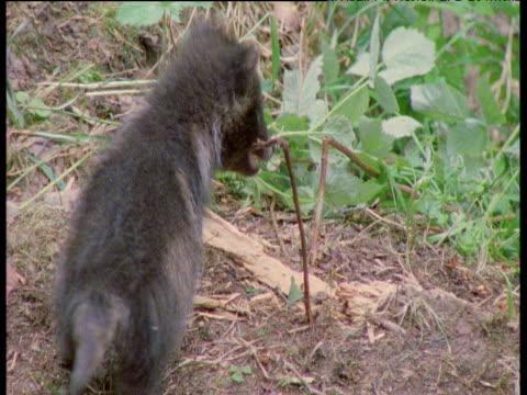 raccoon dog pup forms archway by pulling at twigs then walks under it, finland - 小枝点の映像素材/bロール