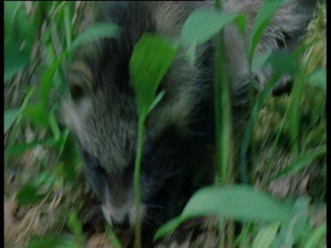 vídeos y material grabado en eventos de stock de raccoon dog pup plays with pine cone, finland - piña de piñones