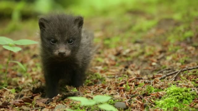 raccoon dog pups (nyctereutes procyonoides) play on forest floor - baden württemberg stock videos & royalty-free footage