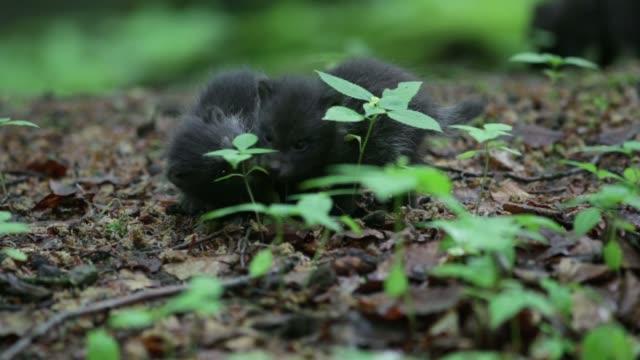schwarzen wolfswelpen (canis lupus) spielen auf waldboden - drei tiere stock-videos und b-roll-filmmaterial
