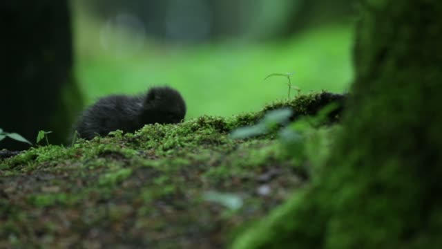 black wolf pups (canis lupus) play on forest floor - baden wurttemberg stock videos and b-roll footage