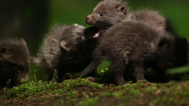 raccoon dog pups (nyctereutes procyonoides) play on forest floor - young animal video stock e b–roll
