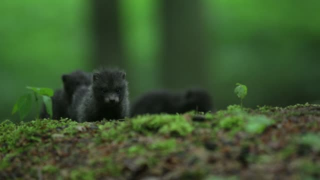 raccoon dog pups (nyctereutes procyonoides) play on forest floor - animals in the wild stock videos & royalty-free footage