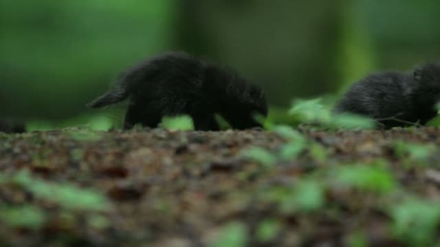 Black wolf pups (Canis lupus) play on forest floor