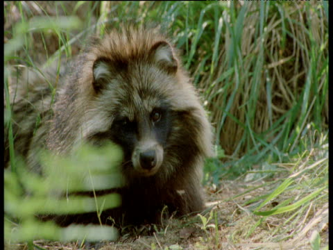 raccoon dog twitches ears to remove mosquitos, finland - bbc stock videos and b-roll footage