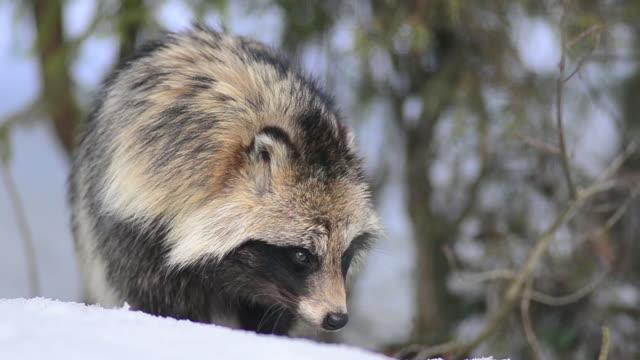 stockvideo's en b-roll-footage met wasbeerhond - zoogdier