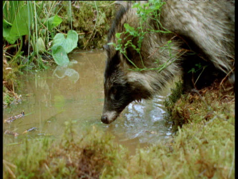 raccoon dog watches water intently before falling in headfirst, finland - failure stock videos & royalty-free footage