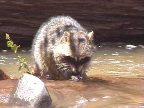 MS Raccoon feeding in river / USA