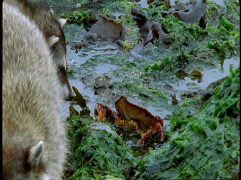 a raccoon finds a crab as it searches for food in kelp at low tide on vancouver island. - low tide stock videos & royalty-free footage