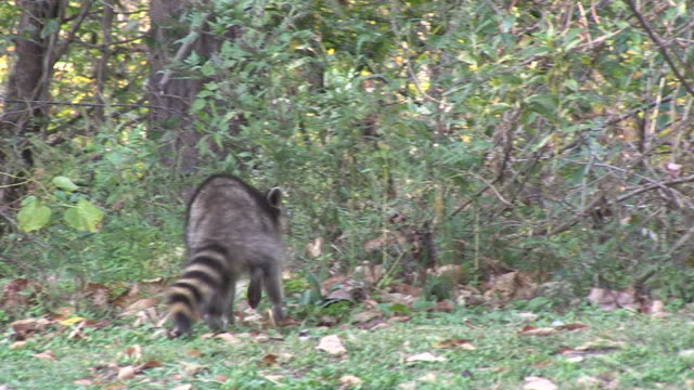 stockvideo's en b-roll-footage met a raccoon forages in a forest clearing. - foerageren