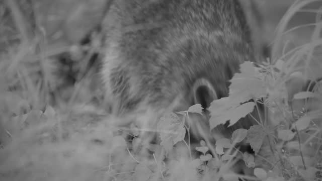 stockvideo's en b-roll-footage met a raccoon forages in a grassy appalachian meadow. - foerageren