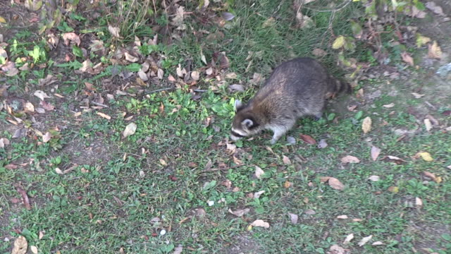stockvideo's en b-roll-footage met a raccoon forages in a grassy clearing. - foerageren