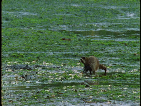 A raccoon forages on a beach at low tide.