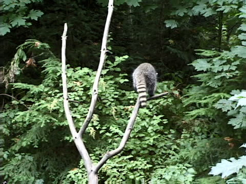 raccoon in bare branches - artbeats stock videos & royalty-free footage