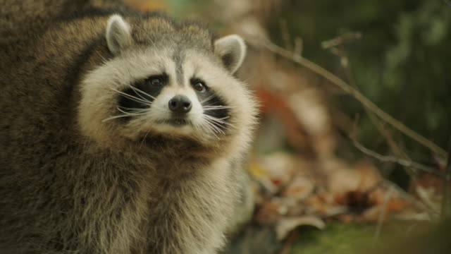 a raccoon in the forrest. - composition stock videos & royalty-free footage