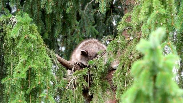 stockvideo's en b-roll-footage met raccoon in the tree, germany - meer dan 40 seconden