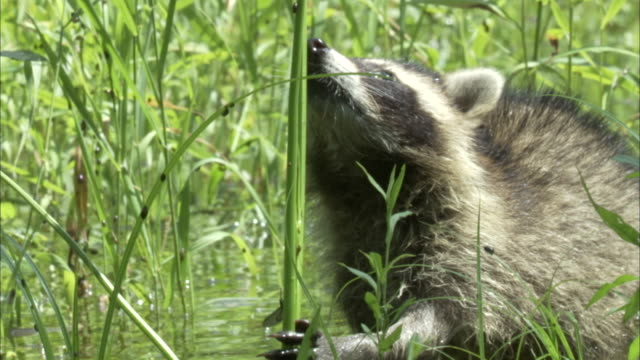 a raccoon nibbles on reeds as another raccoon prowls around nearby. - wasserpflanze stock-videos und b-roll-filmmaterial