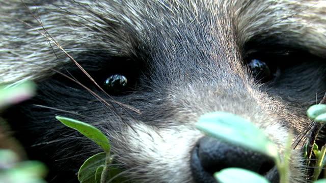 Raccoon portrait