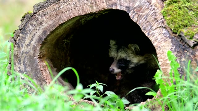 raccoon, procyon lotor, hollow tree trunk, hesse, germany - 20 seconds or greater stock videos & royalty-free footage