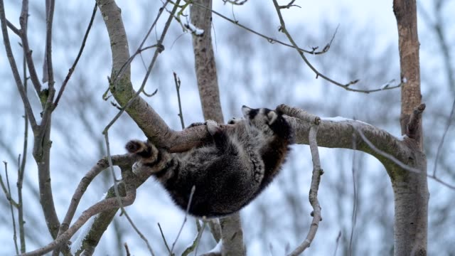 vidéos et rushes de raccoon, procyon lotor, raccoon slips off the tree while sleeping in snowfall - un seul animal