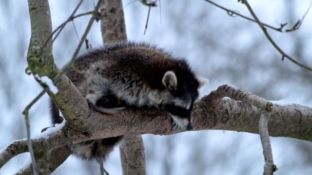 raccoon, procyon lotor, raccoon slips off the tree while sleeping - fallen stock-videos und b-roll-filmmaterial