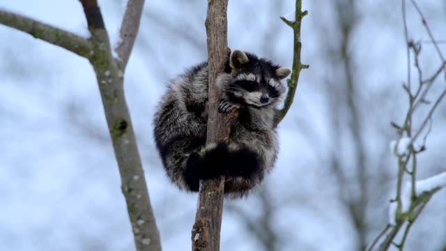 raccoon, procyon lotor, sitting on tree in winter - kälte stock-videos und b-roll-filmmaterial