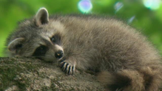 ms raccoon (procyon lotor) resting on tree branch, tweed, ontario, canada - resting stock videos & royalty-free footage