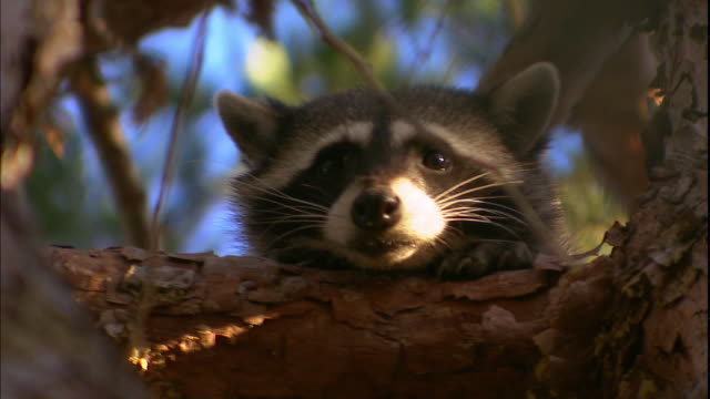 A raccoon rests its head on a tree branch.