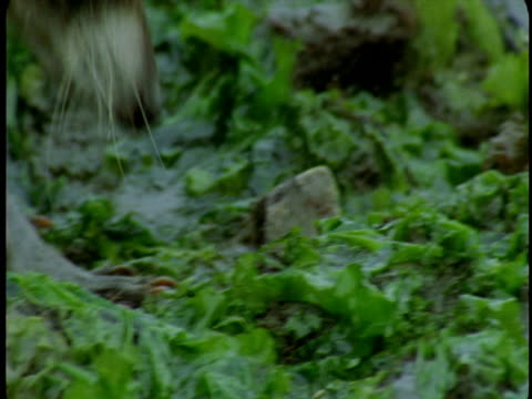 vidéos et rushes de a raccoon scavenges in the vegetation at edge of water. - se nourrir des restes