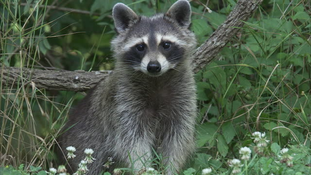 vídeos de stock e filmes b-roll de a raccoon sits serenely among forest wildflowers. - appalachia
