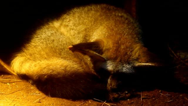 tvättbjörn sömn - rabies bildbanksvideor och videomaterial från bakom kulisserna