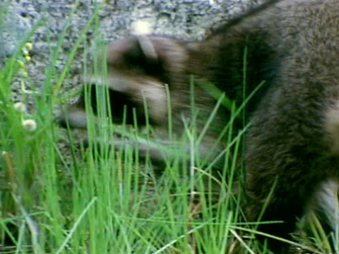 vídeos de stock, filmes e b-roll de raccoon standing w/ front feet up on rock ws raccoon walking up to hollow log mink den sticking head into base entrance ms female mink standing in... - onívoro