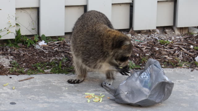 raccoon stealing food from trash in the key biscayne state park in the miami area. - florida us state stock videos & royalty-free footage