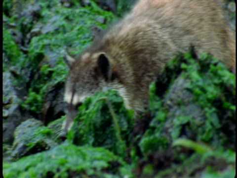 a raccoon traverses seaweed-covered rocks at low tide. - low tide stock videos & royalty-free footage