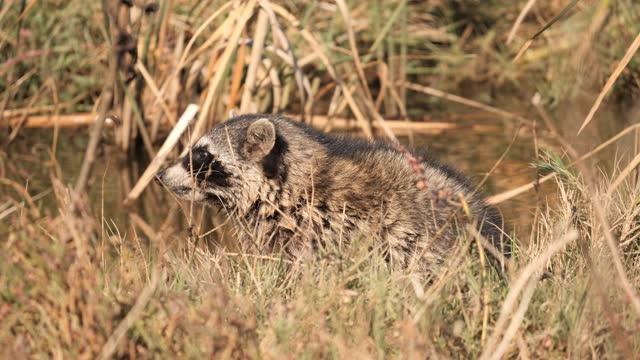 waschbär - tierisches verhalten stock-videos und b-roll-filmmaterial
