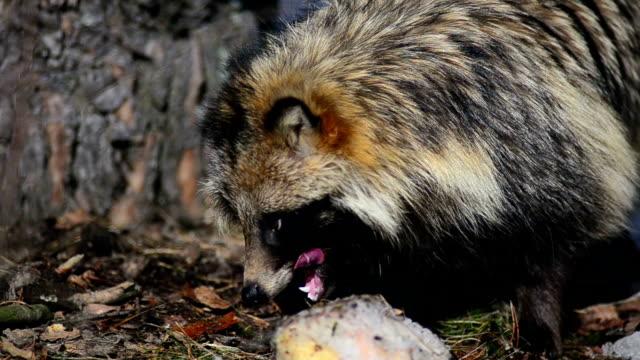 raccoon - animal teeth stock videos & royalty-free footage