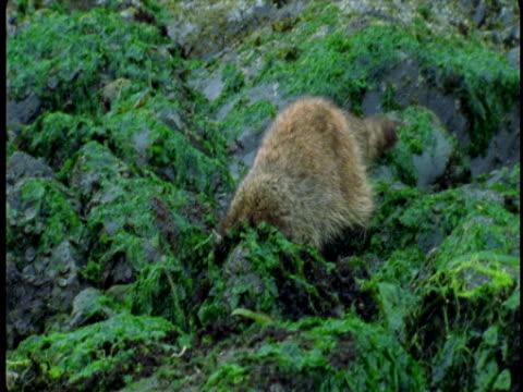 a raccoon walks across seaweed-covered rocks at low tide. - low tide stock videos & royalty-free footage