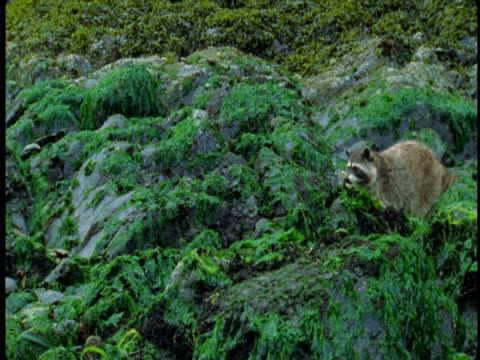 vidéos et rushes de a raccoon walks over moss and seaweed covered rocks at low tide. - se nourrir des restes