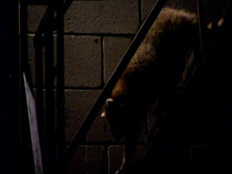 raccoons clamber down fire escape steps at night, chicago - recreational pursuit stock videos & royalty-free footage